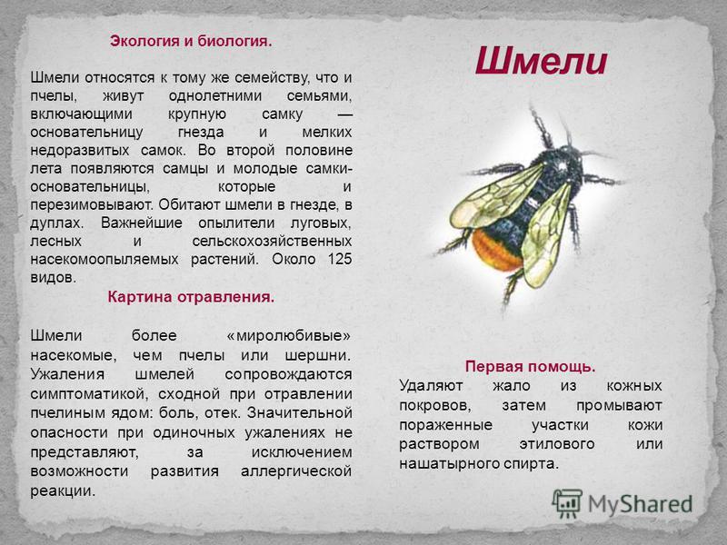 Экология и биология. Шмели относятся к тому же семейству, что и пчелы, живут однолетними семьями, включающими крупную самку основательницу гнезда и мелких недоразвитых самок. Во второй половине лета появляются самцы и молодые самки- основательницы, к