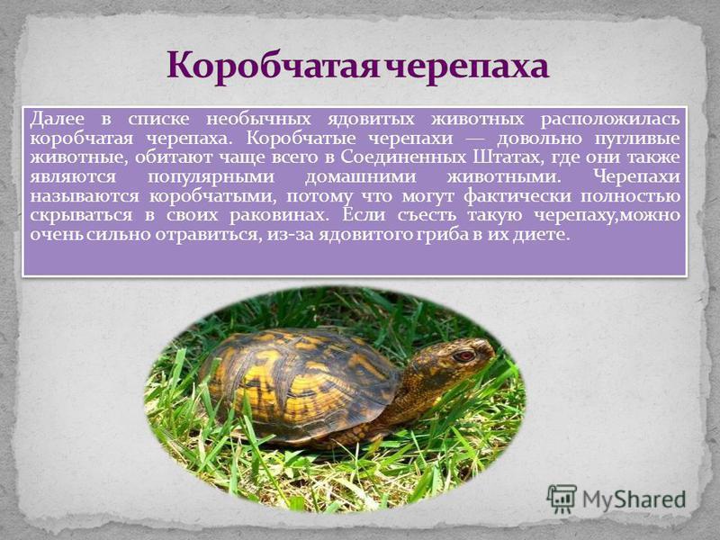 Далее в списке необычных ядовитых животных расположилась коробчатая черепаха. Коробчатые черепахи довольно пугливые животные, обитают чаще всего в Соединенных Штатах, где они также являются популярными домашними животными. Черепахи называются коробча