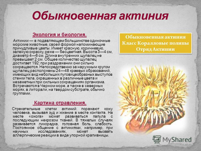 Экология и биология. Актинии в подавляющем большинстве одиночные морские животные, своей формой напоминающие причудливые цветы. Имеет красную, коричневую, зеленую окраску, реже бесцветная. Высота 34 см, диаметр 46 см. Длина внутренних щупалец не прев