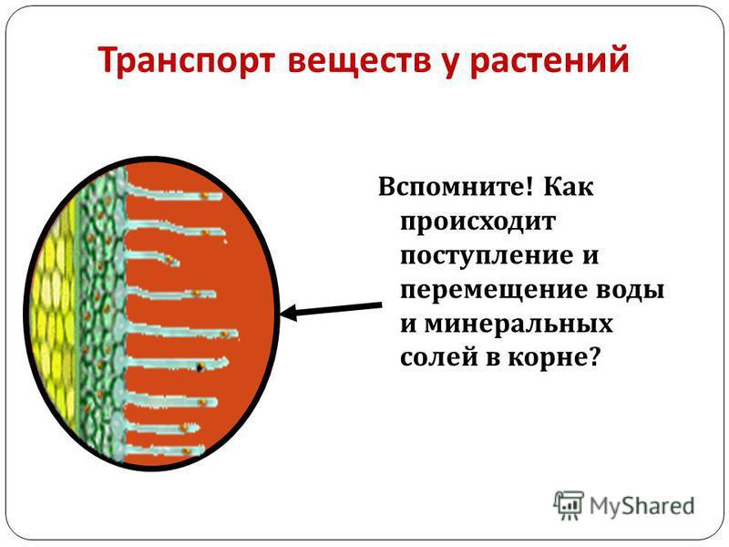 Транспорт веществ у растений Вспомните ! Как происходит поступление и перемещение воды и минеральных солей в корне ?