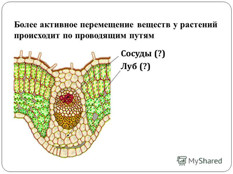 Более активное перемещение веществ у растений происходит по проводящим путям Сосуды (?) Луб (?)