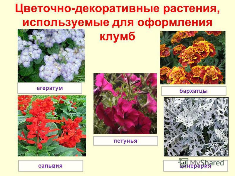 агератум Цветочно-декоративные растения, используемые для оформления клумб сальвия петунья бархатцы цинерария