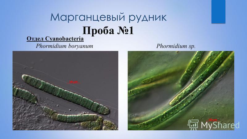 Марганцевый рудник Проба 1 Отдел Cyanobacteria Рhormidium boryanum Рhormidium sp.