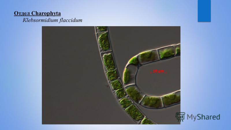 Отдел Charophyta Кlebsormidium flaccidum