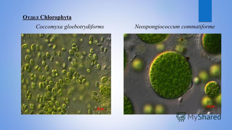 Отдел Chlorophyta Coccomyхa gloebotrydiforms Neospongiococcum commatiforme