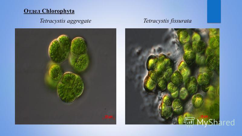 Отдел Chlorophyta Tetracystis aggregateTetracystis fissurata