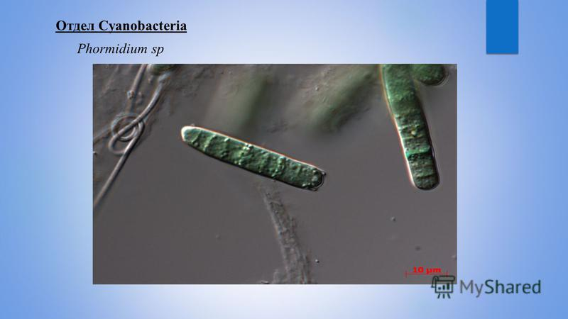 Отдел Cyanobacteria Phormidium sp