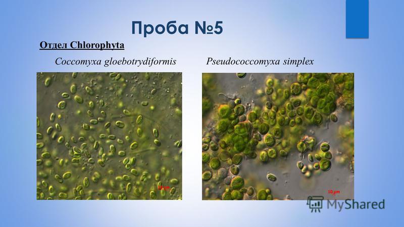 Проба 5 Отдел Chlorophyta Сoccomyxa gloebotrydiformisPseudococcomyxa simplex