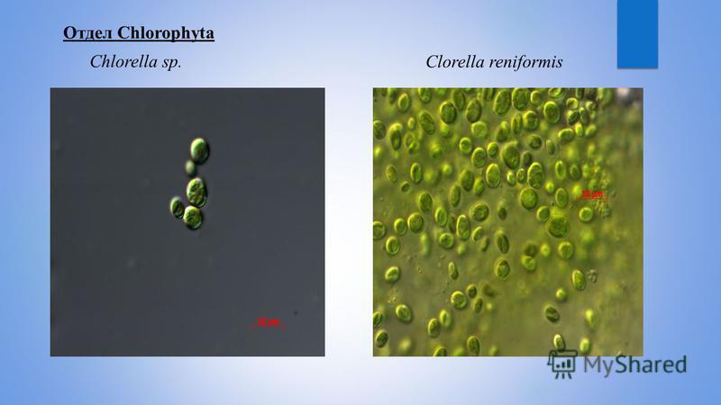 Отдел Chlorophyta Chlorella sp.Сlorella reniformis