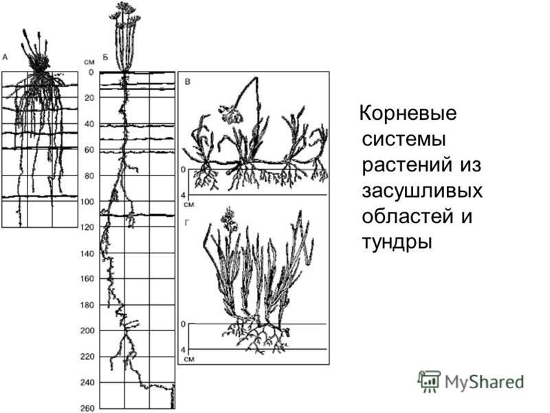 Корневые системы растений из засушливых областей и тундры