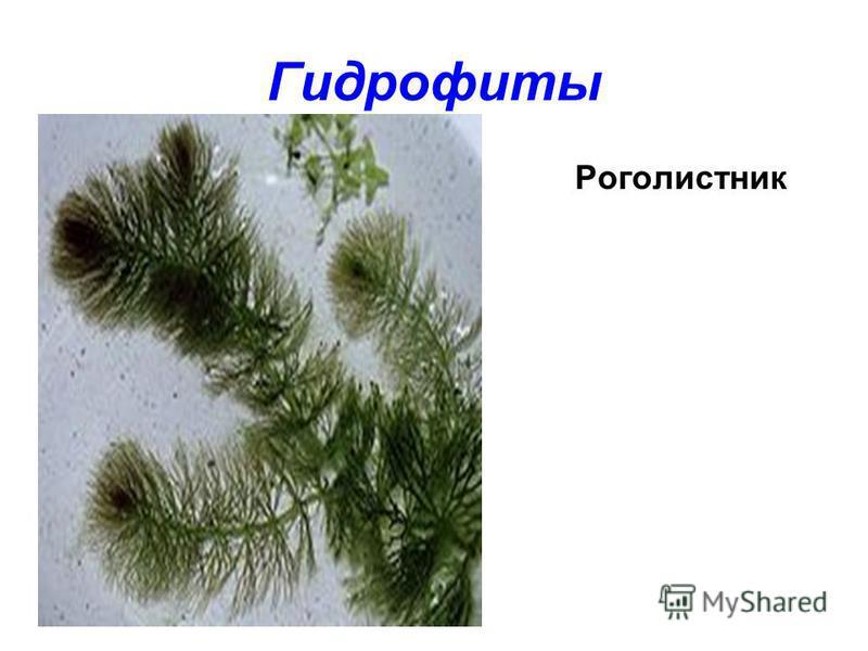 Гидрофиты Роголистник