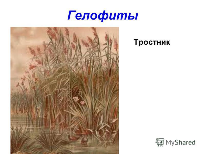 Гелофиты Тростник