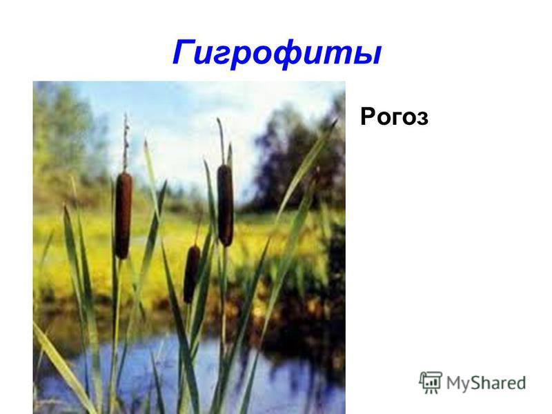 Гигрофиты Рогоз