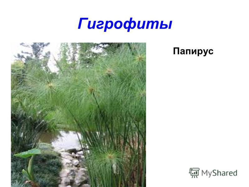 Гигрофиты Папирус