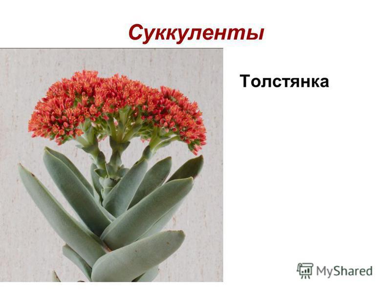 Суккуленты Толстянка
