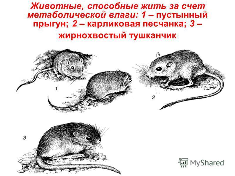 Животные, способные жить за счет метаболической влаги: 1 – пустынный прыгун; 2 – карликовая песчанка; 3 – жирнохвостый тушканчик