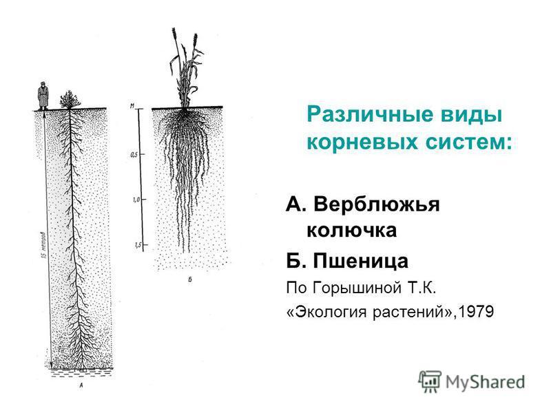 Различные виды корневых систем: А. Верблюжья колючка Б. Пшеница По Горышиной Т.К. «Экология растений»,1979