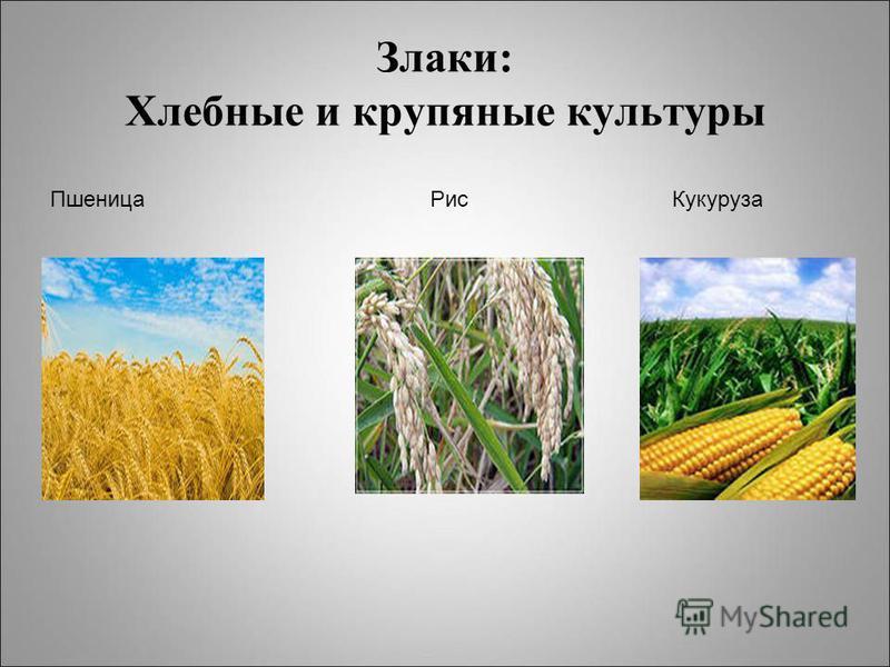 Злаки: Хлебные и крупяные культуры Пшеница Рис Кукуруза