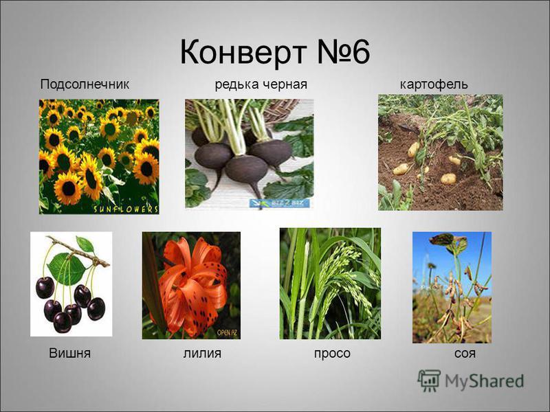 Конверт 6 Подсолнечник редька черная картофель Вишня лилия просо соя