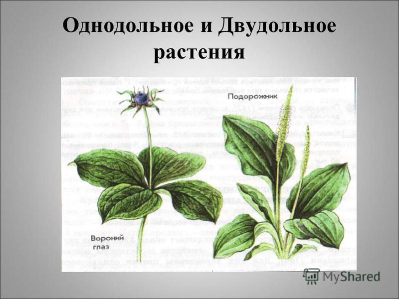 Однодольное и Двудольное растения