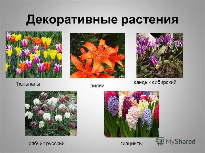 Декоративные растения Тюльпаны лилии кандык сибирский рябчик русский гиацинты