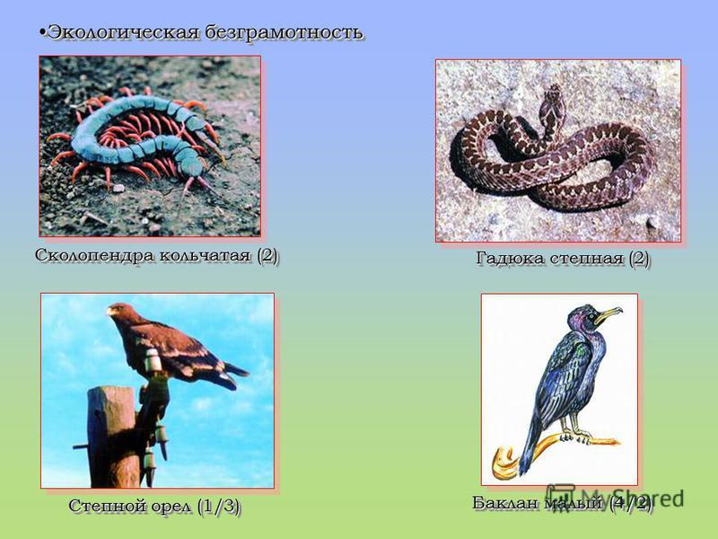 Экологическая безграмотностьЭкологическая безграмотность Сколопендра кольчатая (2) Гадюка степная (2) Степной орел (1/3) Баклан малый (4/2)