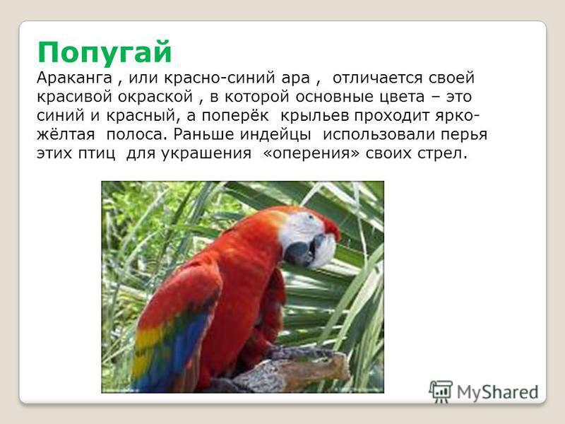 Попугай Араканга, или красно-синий ара, отличается своей красивой окраской, в которой основные цвета – это синий и красный, а поперёк крыльев проходит ярко- жёлтая полоса. Раньше индейцы использовали перья этих птиц для украшения «оперения» своих стр