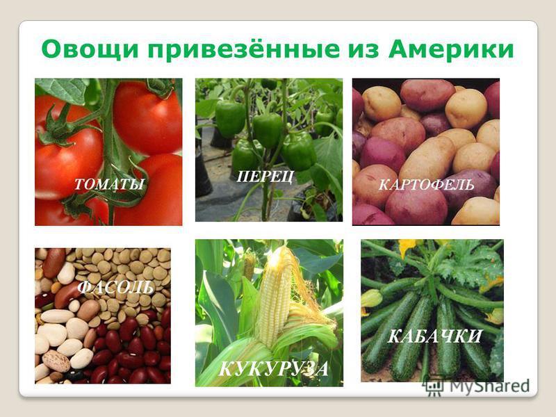 Овощи привезённые из Америки КУКУРУЗА