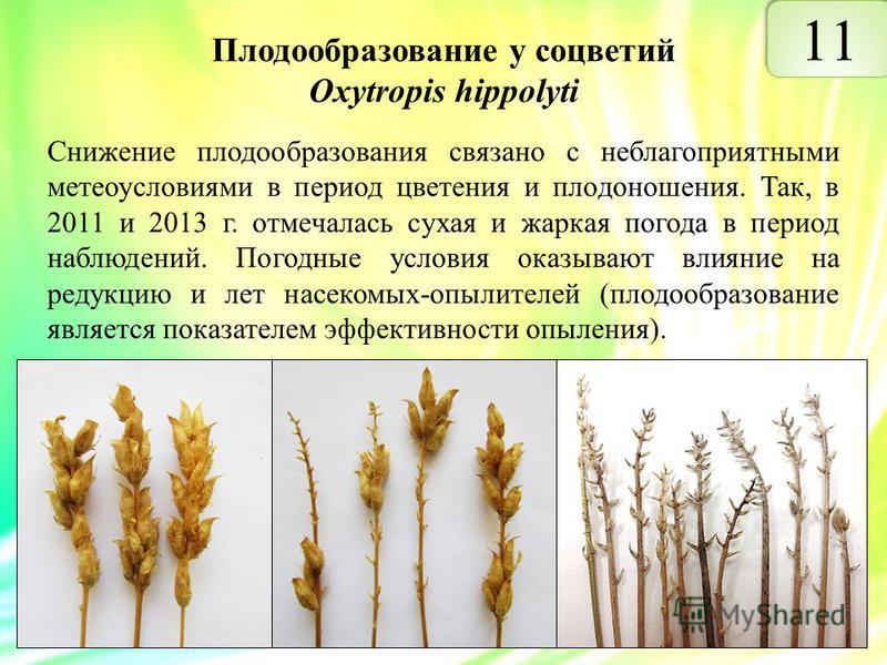 Плодообразование у соцветий Oxytropis hippolyti Снижение плодообразования связано с неблагоприятными метеоусловиями в период цветения и плодоношения. Так, в 2011 и 2013 г. отмечалась сухая и жаркая погода в период наблюдений. Погодные условия оказыва