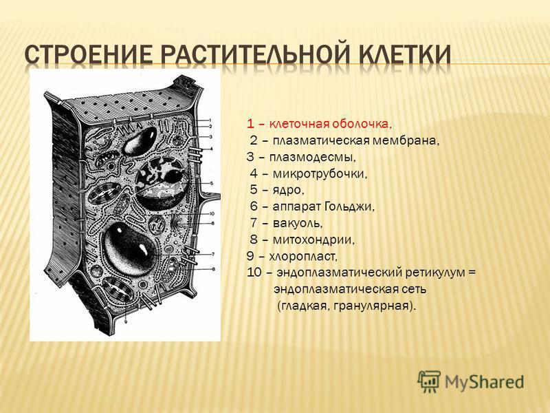 1 – клеточная оболочка, 2 – плазматическая мембрана, 3 – плазмодесмы, 4 – микротрубочки, 5 – ядро, 6 – аппарат Гольджи, 7 – вакуоль, 8 – митохондрии, 9 – хлоропласт, 10 – эндоплазматический ретикулум = эндоплазматическая сеть (гладкая, гранулярная).