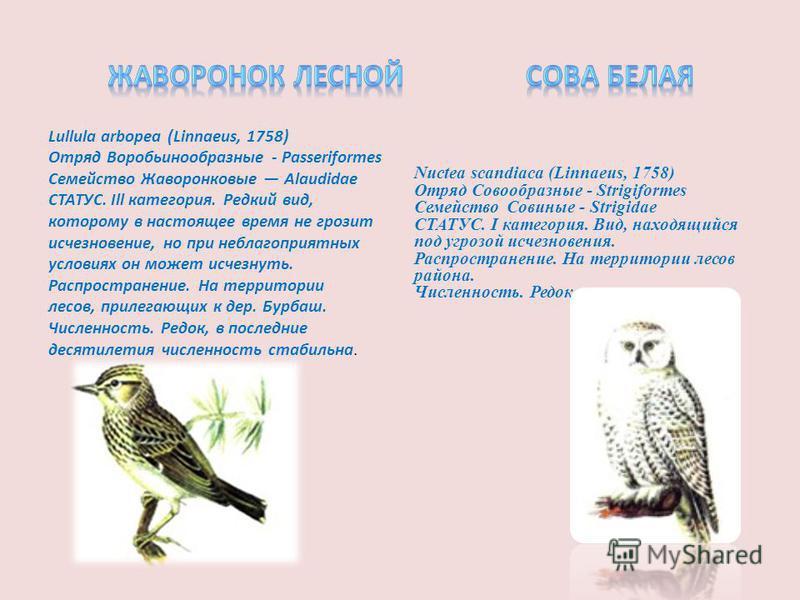 Lullula arbopea (Linnaeus, 1758) Отряд Воробьинообразные - Passeriformes Семейство Жаворонковые Alaudidae СТАТУС. Ill категория. Редкий вид, которому в настоящее время не грозит исчезновение, но при неблагоприятных условиях он может исчезнуть. Распро