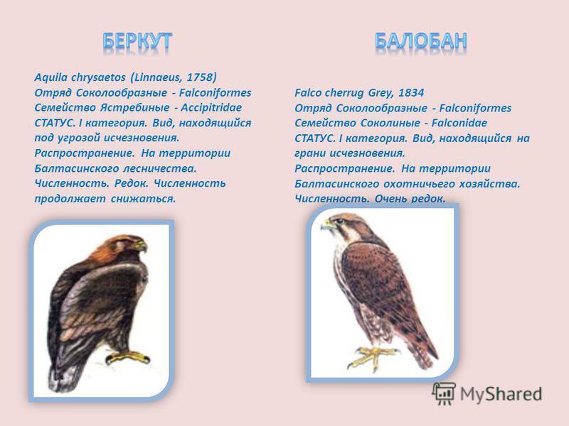 Aquila chrysaetos (Linnaeus, 1758) Отряд Соколообразные - Falconiformes Семейство Ястребиные - Accipitridae СТАТУС. I категория. Вид, находящийся под угрозой исчезновения. Распространение. На территории Балтасинского лесничества. Численность. Редок.