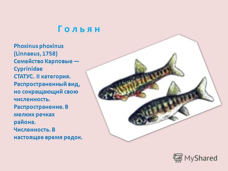 Г о л ь я н Phoxinus phoxinus (Linnaeus, 1758) Семейство Карповые Cyprinidae СТАТУС. II категория. Распространенный вид, но сокращающий свою численность. Распространение. В мелких речках района. Численность. В настоящее время редок.