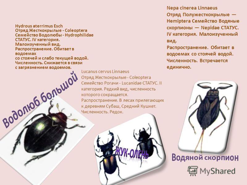 Hydrous aterrimus Esch Отряд Жесткокрылые - Coleoptera Семейство Водолюбы - Hydrophilidae СТАТУС. IV категория. Малоизученный вид. Распространение. Обитает в водоемах со стоячей и слабо текущей водой. Численность. Снижается в связи с загрязнением вод