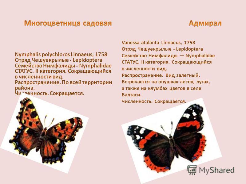 Nymphalis polychloros Linnaeus, 1758 Отряд Чешуекрылые - Lepidoptera Семейство Нимфалиды - Nymphalidae СТАТУС. II категория. Сокращающийся в численности вид. Распространение. По всей территории района. Численность. Сокращается. Vanessa atalanta Linna