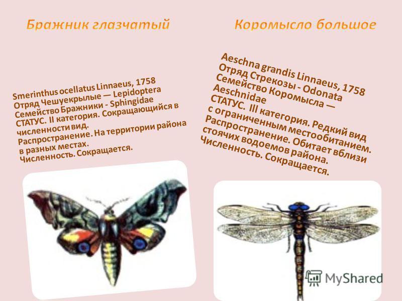 Smerinthus ocellatus Linnaeus, 1758 Отряд Чешуекрылые Lepidoptera Семейство Бражники - Sphingidae СТАТУС. II категория. Сокращающийся в численности вид. Распространение. На территории района в разных местах. Численность. Сокращается. Aeschna grandis