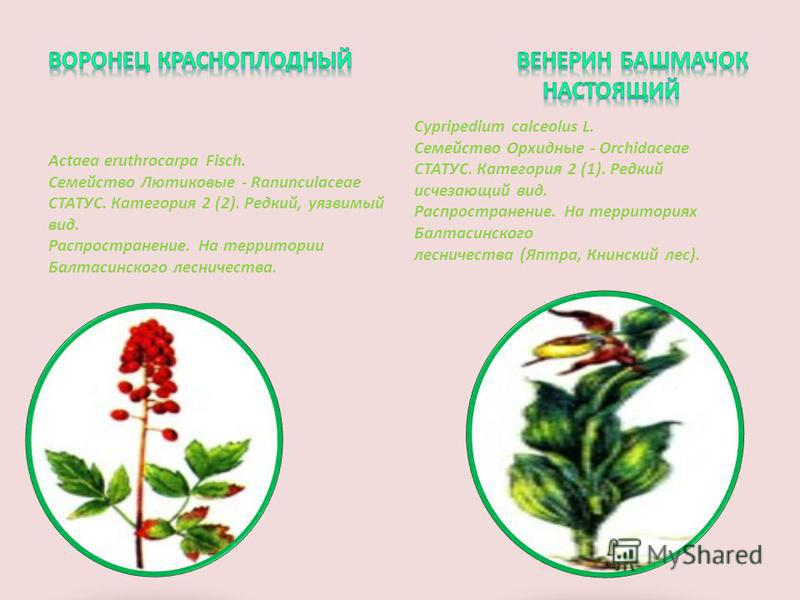 Actaea eruthrocarpa Fisch. Семейство Лютиковые - Ranunculaceae СТАТУС. Категория 2 (2). Редкий, уязвимый вид. Распространение. На территории Балтасинского лесничества. Cypripedium calceolus L. Семейство Орхидные - Orchidaceae СТАТУС. Категория 2 (1).