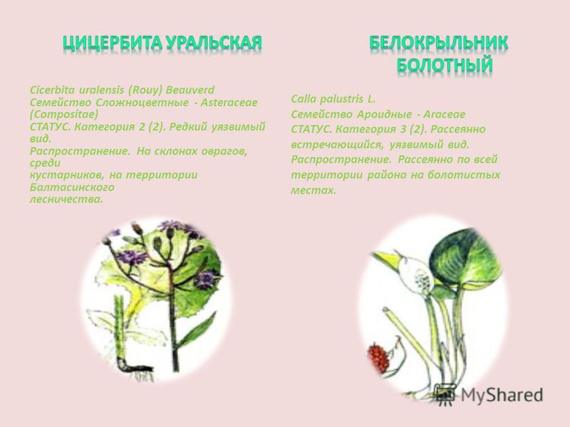 Cicerbita uralensis (Rouy) Beauverd Семейство Сложноцветные - Asteraceae (Compositae) СТАТУС. Категория 2 (2). Редкий уязвимый вид. Распространение. На склонах оврагов, среди кустарников, на территории Балтасинского лесничества. Calla palustris L. Се