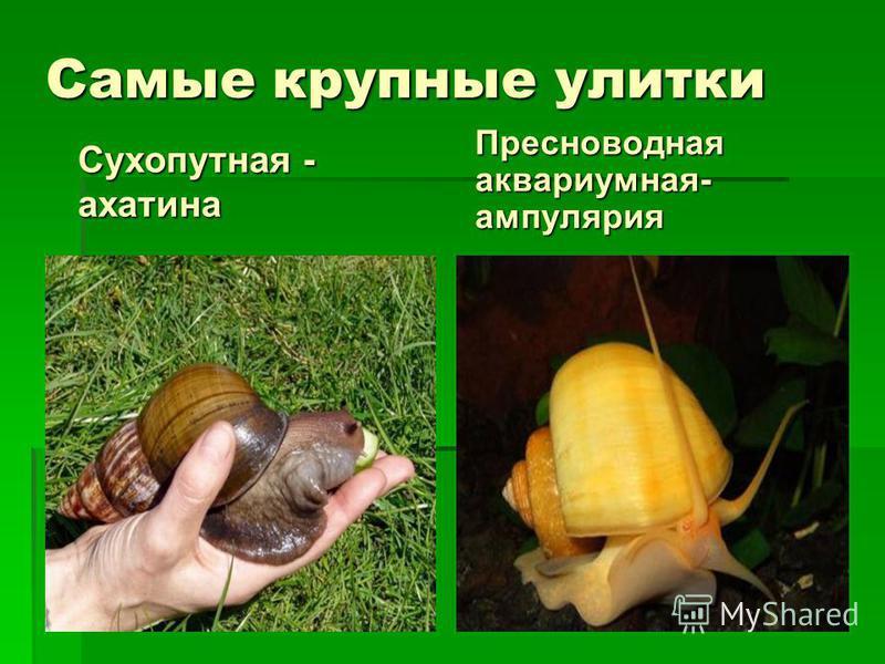Самые крупные улитки Сухопутная - ахатина Пресноводная аквариумная- ампулярия