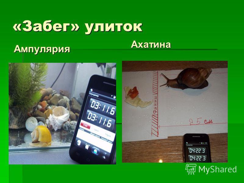 «Забег» улиток Ампулярия Ахатина