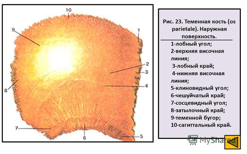 Рис. 23. Теменная кость (os parietale). Наружная поверхность. 1-лобный угол; 2-верхняя височная линия; 3-лобный край; 4-нижняя височная линия; 5-клиновидный угол; 6-чешуйчатый край; 7-сосцевидный угол; 8-затылочный край; 9-теменной бугор; 10-сагиттал