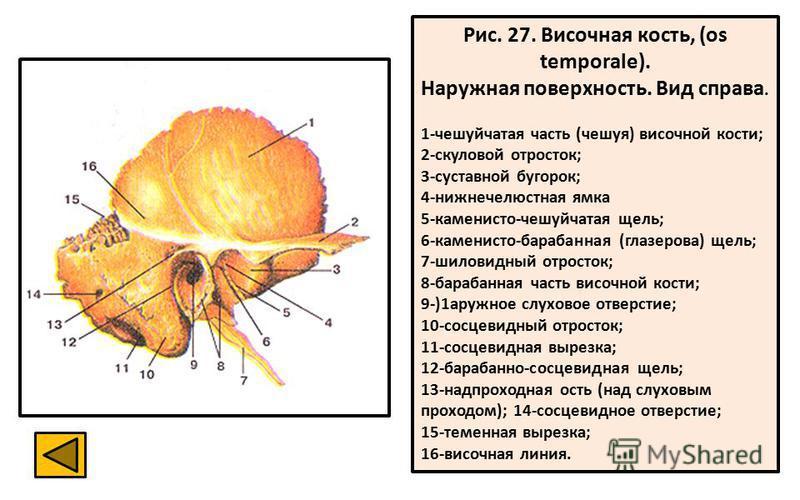 Рис. 27. Височная кость, (os temporale). Наружная поверхность. Вид справа. 1-чешуйчатая часть (чешуя) височной кости; 2-скуловой отросток; 3-суставной бугорок; 4-нижнечелюстная ямка 5-каменисто-чешуйчатая щель; 6-каменисто-барабанная (глазерова) щель