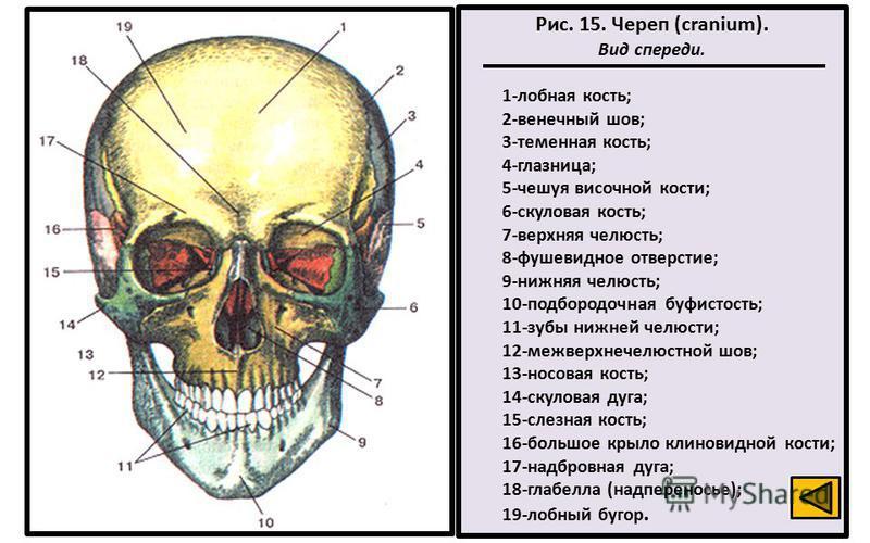 Рис. 15. Череп (cranium). Вид спереди. 1-лобная кость; 2-венечный шов; 3-теменная кость; 4-глазница; 5-чешуя височной кости; 6-скуловая кость; 7-верхняя челюсть; 8-фушевидное отверстие; 9-нижняя челюсть; 10-подбородочная буфистость; 11-зубы нижней че
