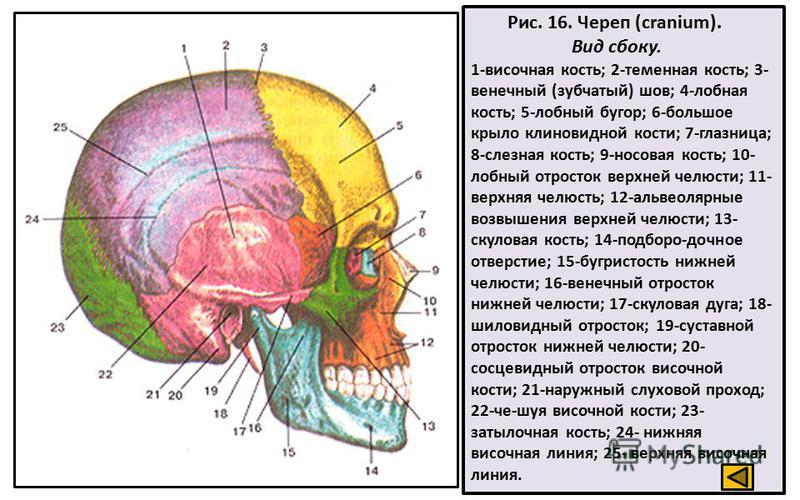Рис. 16. Череп (cranium). Вид сбоку. 1-височная кость; 2-теменная кость; 3- венечный (зубчатый) шов; 4-лобная кость; 5-лобный бугор; 6-большое крыло клиновидной кости; 7-глазница; 8-слезная кость; 9-носовая кость; 10- лобный отросток верхней челюсти;
