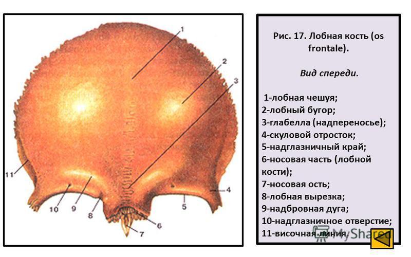 Рис. 17. Лобная кость (os frontale). Вид спереди. 1-лобная чешуя; 2-лобный бугор; 3-глабелла (надпереносье); 4-скуловой отросток; 5-надглазничный край; 6-носовая часть (лобной кости); 7-носовая ость; 8-лобная вырезка; 9-надбровная дуга; 10-надглазнич