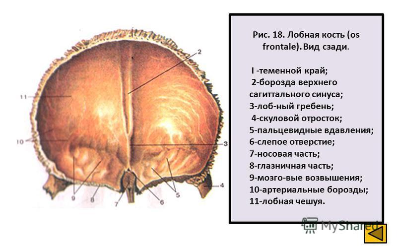 Рис. 18. Лобная кость (os frontale). Вид сзади. I -теменной край; 2-борозда верхнего сагиттального синуса; 3-лоб-ный гребень; 4-скуловой отросток; 5-пальцевидные вдавления; 6-слепое отверстие; 7-носовая часть; 8-глазничная часть; 9-мозго-вые возвышен