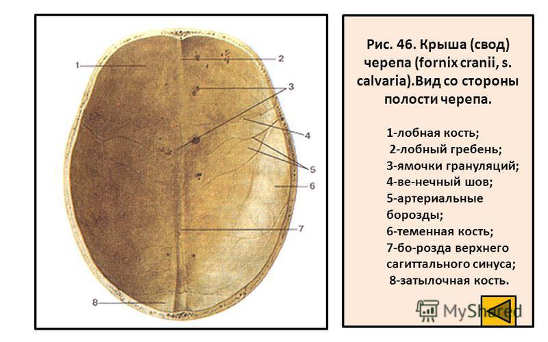 Рис. 46. Крыша (свод) черепа (fornix cranii, s. calvaria).Вид со стороны полости черепа. 1-лобная кость; 2-лобный гребень; 3-ямочки грануляций; 4-ве-нечный шов; 5-артериальные борозды; 6-теменная кость; 7-бо-розда верхнего сагиттального синуса; 8-зат