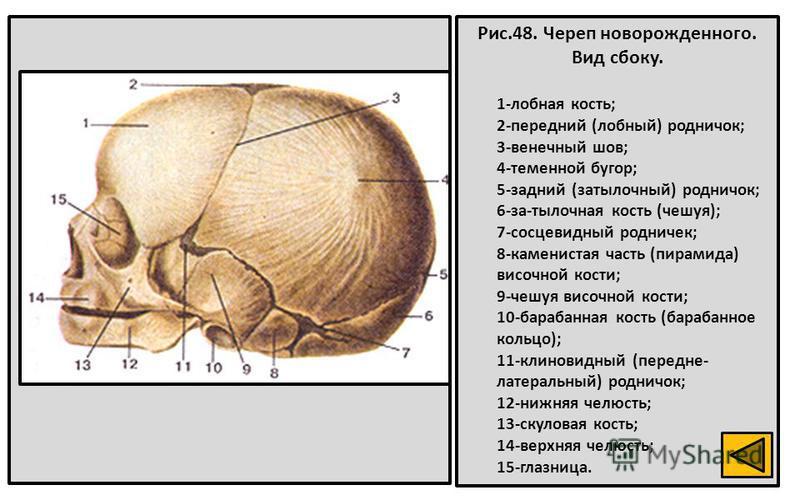 Рис.48. Череп новорожденного. Вид сбоку. 1-лобная кость; 2-передний (лобный) родничок; 3-венечный шов; 4-теменной бугор; 5-задний (затылочный) родничок; 6-за-тылочная кость (чешуя); 7-сосцевидный родничок; 8-каменистая часть (пирамида) височной кости