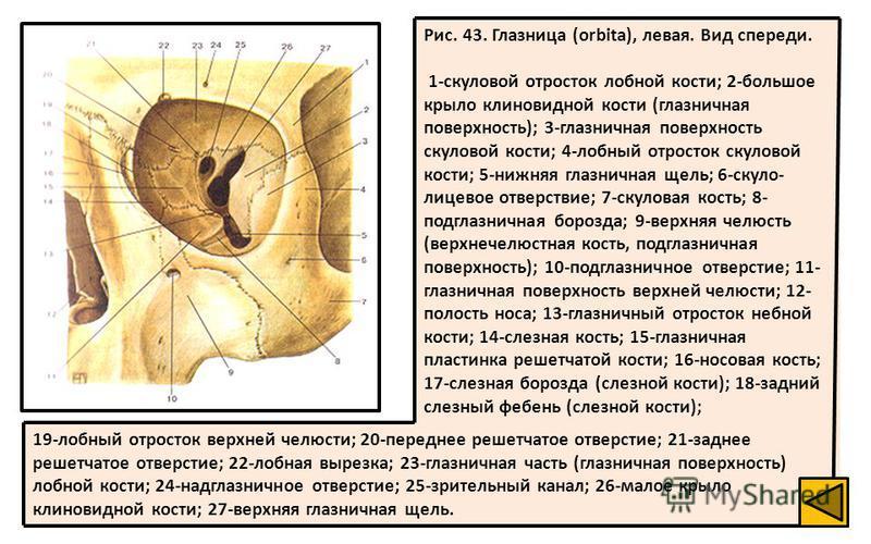 19-лобный отросток верхней челюсти; 20-переднее решетчатое отверстие; 21-заднее решетчатое отверстие; 22-лобная вырезка; 23-глазничная часть (глазничная поверхность) лобной кости; 24-надглазничное отверстие; 25-зрительный канал; 26-малое крыло клинов