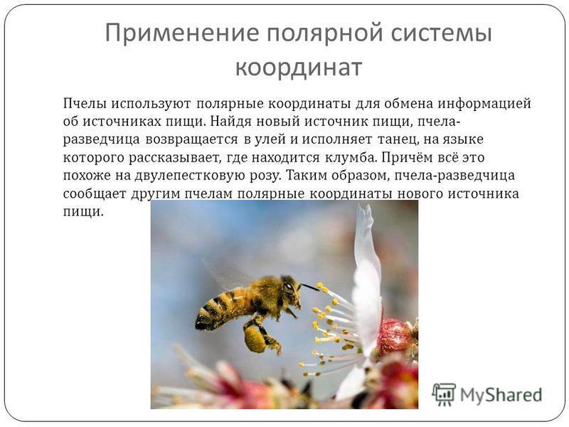 Применение полярной системы координат Пчелы используют полярные координаты для обмена информацией об источниках пищи. Найдя новый источник пищи, пчела - разведчица возвращается в улей и исполняет танец, на языке которого рассказывает, где находится к
